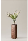 luftpflanze