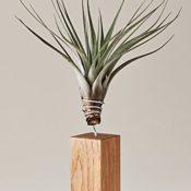 EVRGREEN | Luftpflanzen Tischdeko rustikal auf Eichen-Holz | Tillandsien Deko für Wohnzimmer & Esszimmer | Tillandsia fasciculata - 1