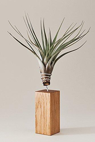 Evrgreen Luftpflanzen Tischdeko Rustikal Auf Eichen Holz